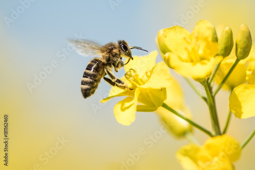 Bee collects honey - rape blossom in spring