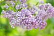 Branch of lilac flowers with green leaves