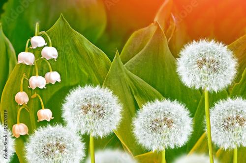 Fototapeta Wiosenne kwiaty to mlecze i konwalie.