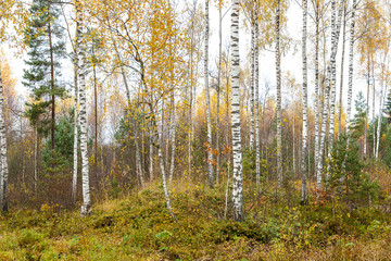 FototapetaThe northern wood with birches in the fall, Latvia.
