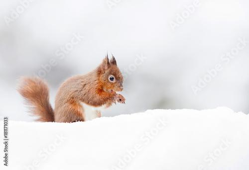 Fotografía  Red Squirrel sitting in the snow in winter, UK