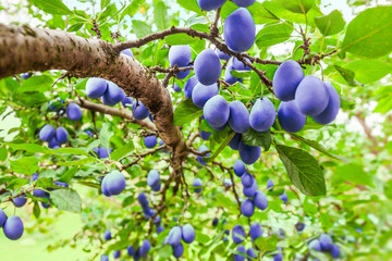 Fototapeta Drzewa Plum tree branch on tree in orchard with lot of fruit on bright light