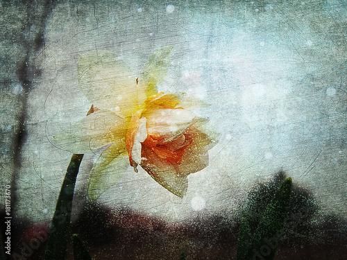kwiat wiosny narcyz na abstrakcyjnym tle