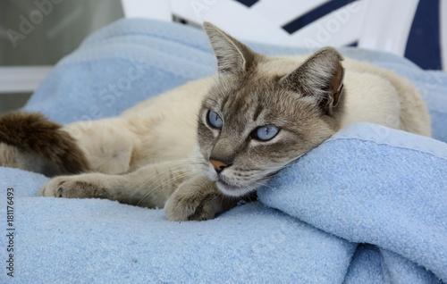Foto auf Acrylglas biały kot leżący na niebieskim kocyku