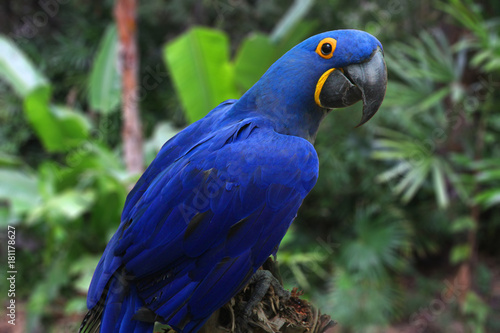 Bright Blue Hyacinth Macaw - Buy this stock photo and