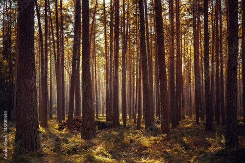 brzewa - 181181444