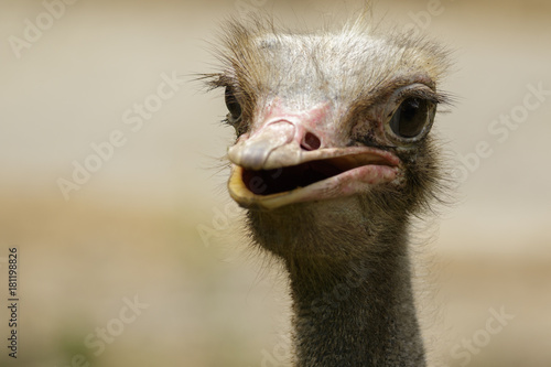 Image of an ostrich bird head on nature background. Farm Animals. Bird.