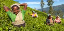 Tea Pickers At A Plantation In Sri Lanka