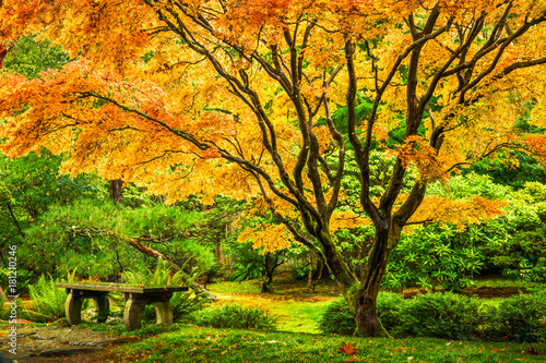 Japanese maple tree with golden fall foliage next to an empty bench in Seattle's Washington Park Arboretum Botanical Garden