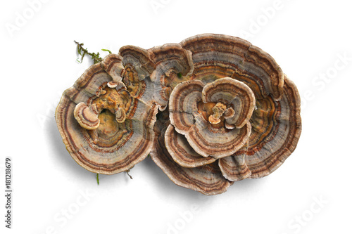 Fotografia, Obraz trametes versicolor mushroom