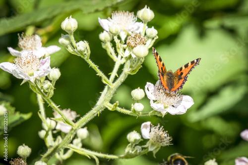 Fotomagnes Tortoiseshell motyl w pomarańczowych kolorach