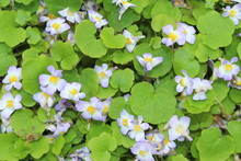 """""""Ivy-leaved Toadflax"""" Flower (..."""