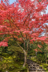 FototapetaMomiji (Maple tree) Autnum leaves and fall foliage landscape in Arashiyama forest, Kyoto, Japan