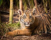 Four Month Old Sumatran Tiger ...