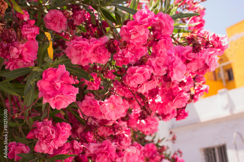 Fotobehang Lilac Bush. Beautiful pink flowers. Mediterranean tropical plant.