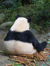 Back Of Giant Panda Sitting Ou...