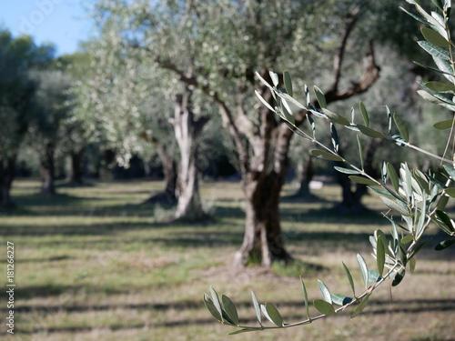 olivier oliveraie