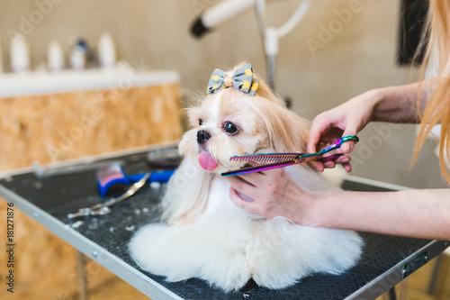 Cuadros en Lienzo Female groomer brushing Shih Tzu at grooming salon.