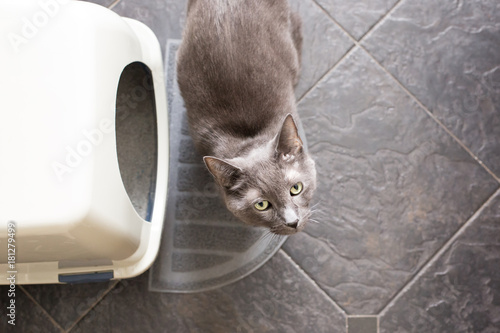 Grey cat next to litterbox looking up Poster Mural XXL