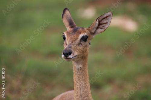 Photo Stands Antelope Antilope Nationalpark Uganda