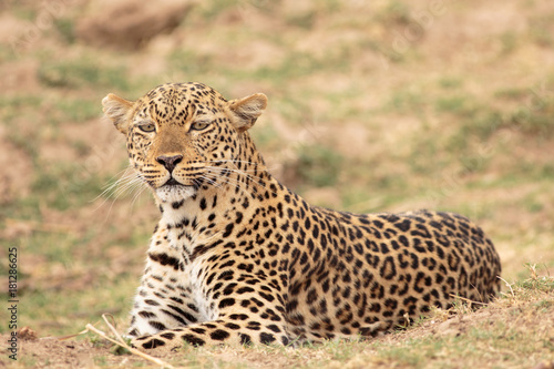 Tuinposter Luipaard Alert Leopard (Panthera pardus) getting ready to pounce in South Luangwa National Park, Zambia, Southern Africa