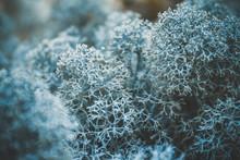 Reindeer Lichen Icelandic Moss...