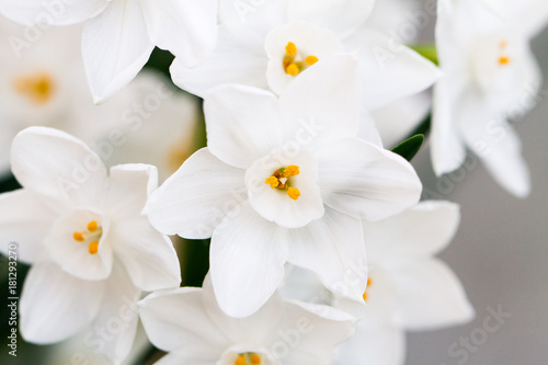 Close-up of white daffodil flowers, known as Paperwhite, Narcissus papyraceus in green grass field