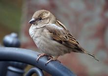 Femal Common House Sparrow Per...