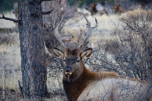 Poster Cerf Colorado Elk