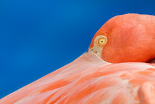 Up Close Resting Flamingo With...