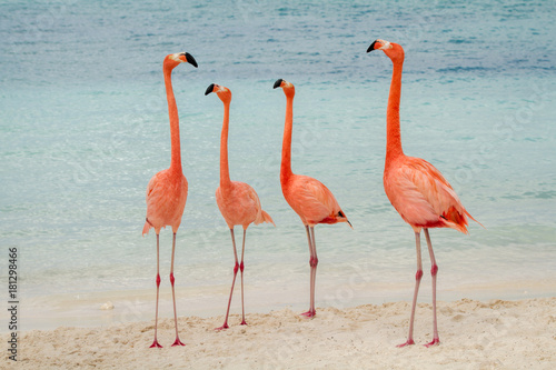 Valokuva A group of four flamingos on the beach in Aruba