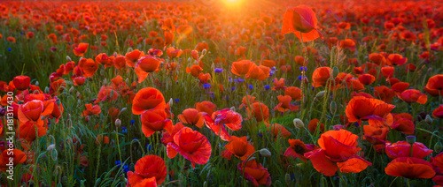 Poster Poppy red poppies in the light of the setting sun,high resolution panorama
