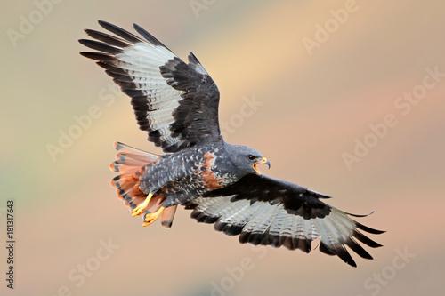 Zdjęcie XXL Szakala myszołów (Buteo rufofuscus) w locie z rozpostartymi skrzydłami, Południowa Afryka