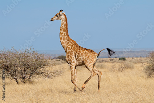 Giraffe (Giraffa camelopardalis) running on the African plains, South Africa.
