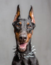 Close Up Portrait Of Dog Dober...