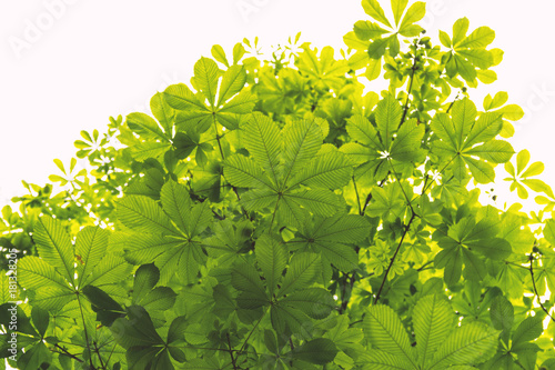 Low Angle View Of Green Chestnut Leaves Against Bright Sky Canvas Print