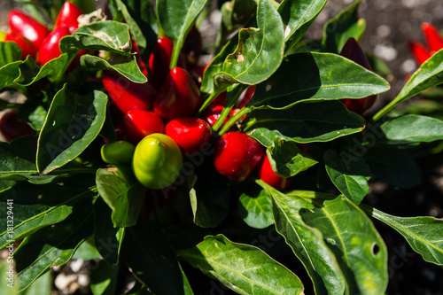 Photo  Close-Up Of Chilly Chili Peppers Or Capsicum Annuum In Summer
