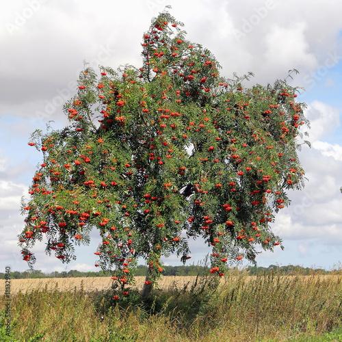 Photo Rowan at roadside, Sorbus aucuparia