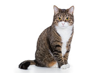 Portrait Of A Serious Grey Cat I