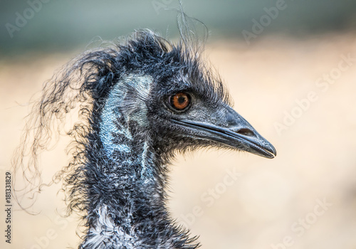 side face portrait of an emu