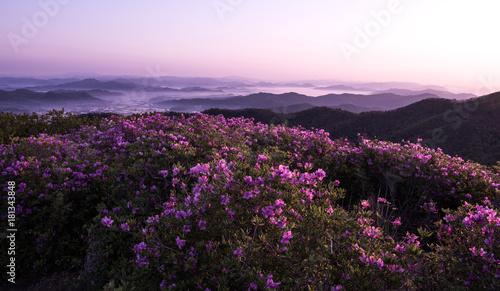 Fotobehang Purper 산 정상에서 본 철쭉꽃과 운해