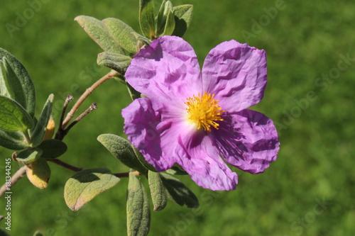 "Fotografering  Paper-like ""White-leaved Rockrose"" flowers (or Grey-leaved Cistus, Rock Rose) in St"