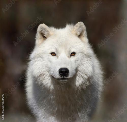 loup arctique dans la brume