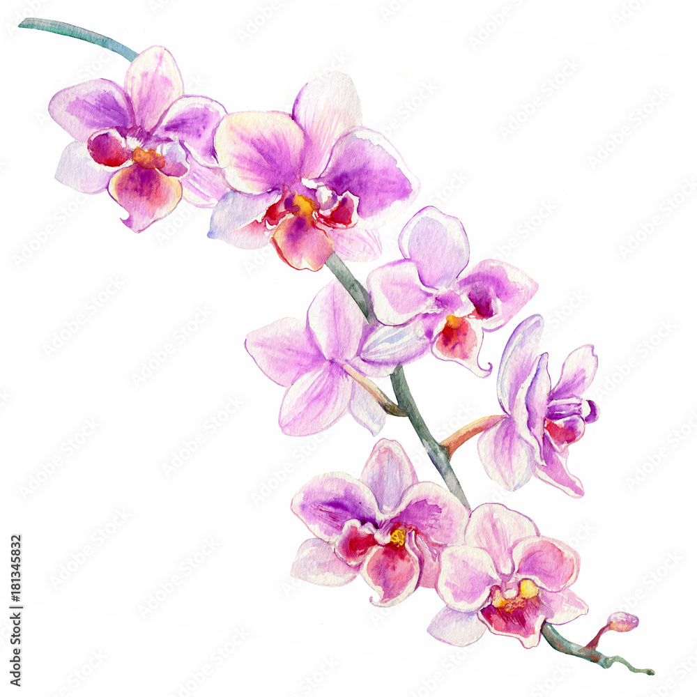Obraz Orchid Flowers Watercolor Hand Drawn Botanical