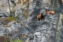Family Mountain Goats Relax On...