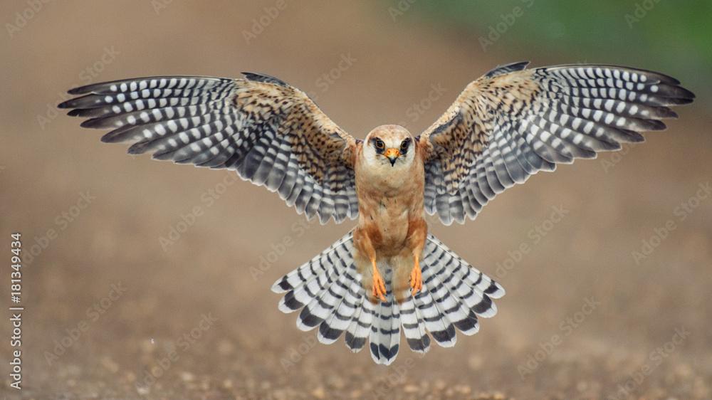 Fotografie, Obraz The red-footed Falcon in flight, (Falco vespertinus)