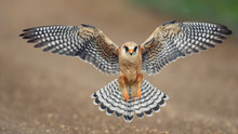 The Red-footed Falcon In Fligh...