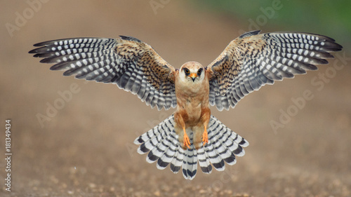 Photo The red-footed Falcon in flight, (Falco vespertinus)