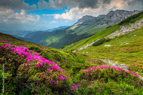 colorful-pink-rhododendron-flowers-in-the-mountains-bucegi-carpathians-romania