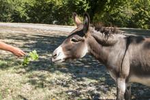 Human Hand Feeding Donkey With...